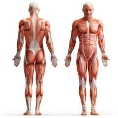 muscoli-corpo-umano-mascile