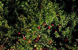 ossicocco americano cranberry